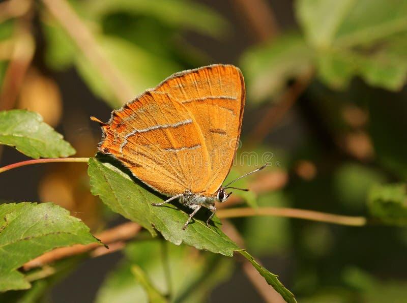 Betulae van vlinderthecla stock afbeelding