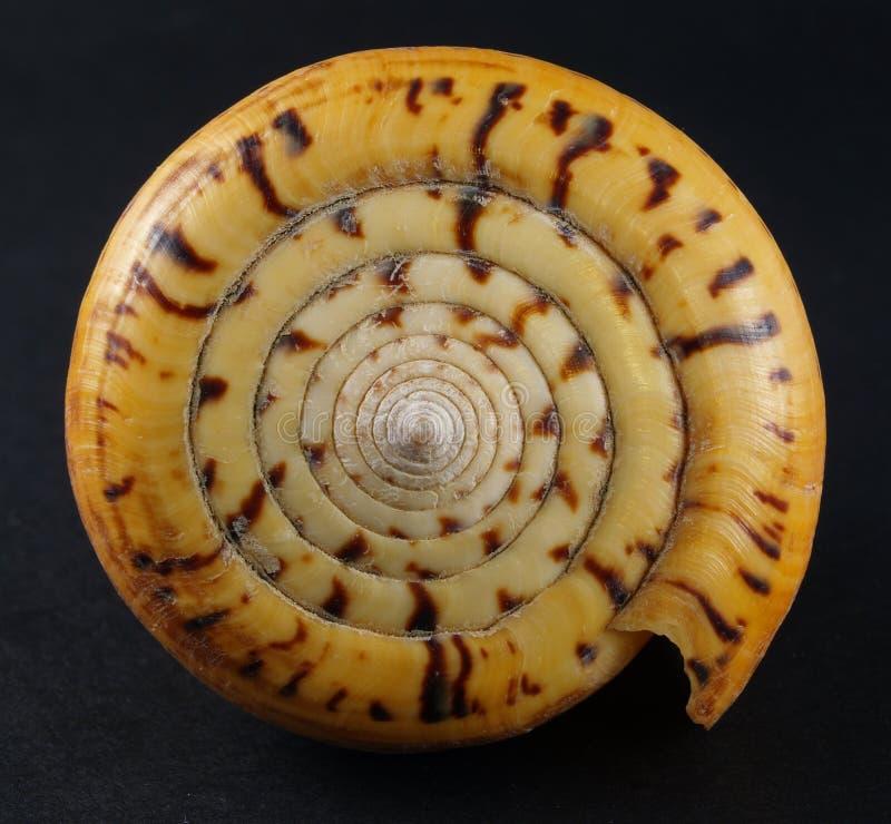 betulinus conus zdjęcie royalty free