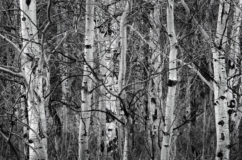Betulla Aspen Trees nei tronchi di albero nudi di autunno immagini stock libere da diritti