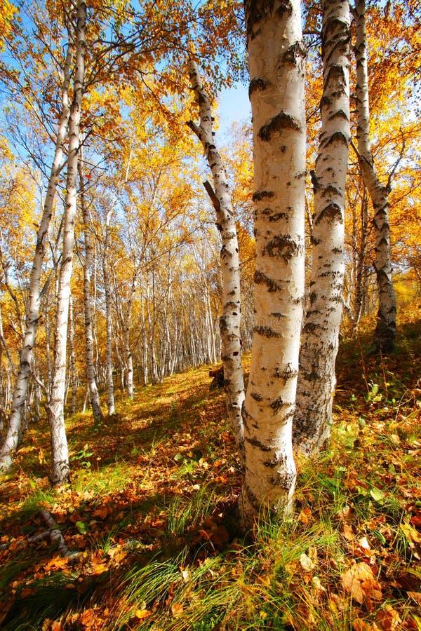 Betulla in autunno immagini stock libere da diritti