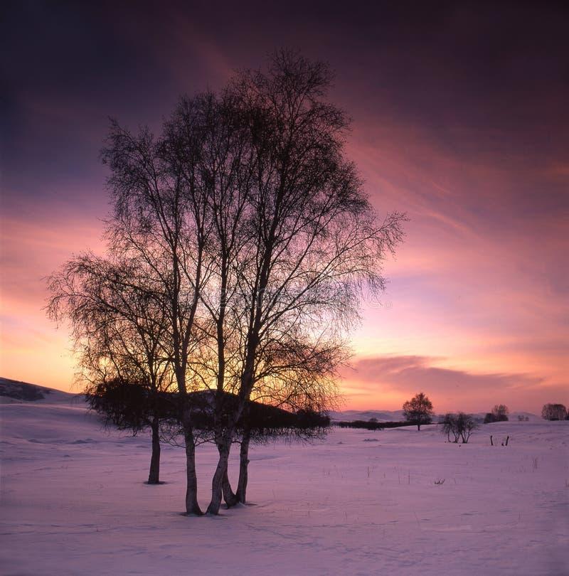 Betulla bianca nel campo di neve fotografia stock