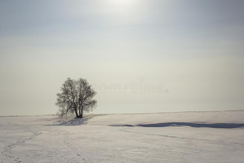 Betulla in bianco e nero in un deserto nevoso di inverno sotto un cielo blu con il sole fotografia stock