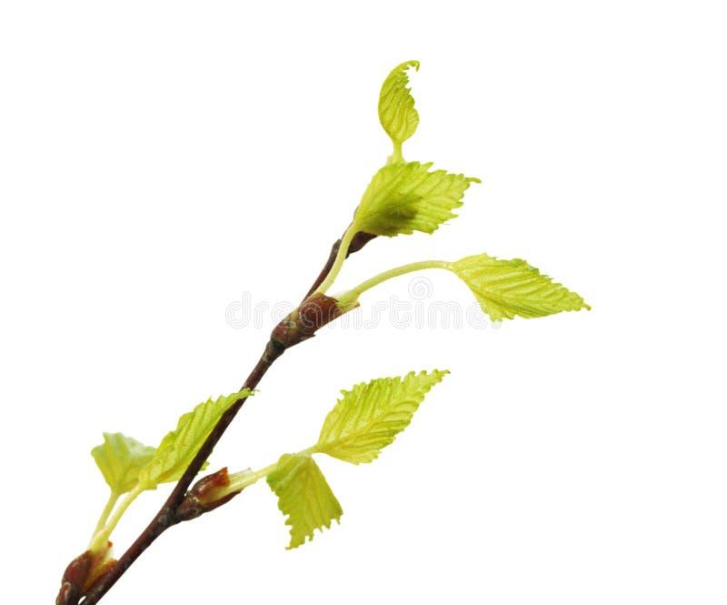 Betulla del ramoscello con le foglie verdi immagini stock