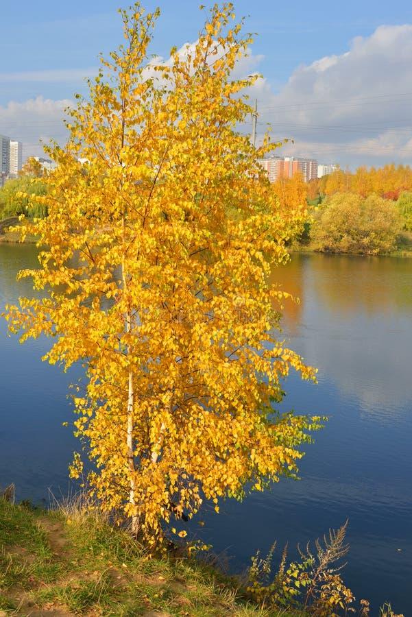 Betulla dorata sulla banca del lago blu fotografia stock