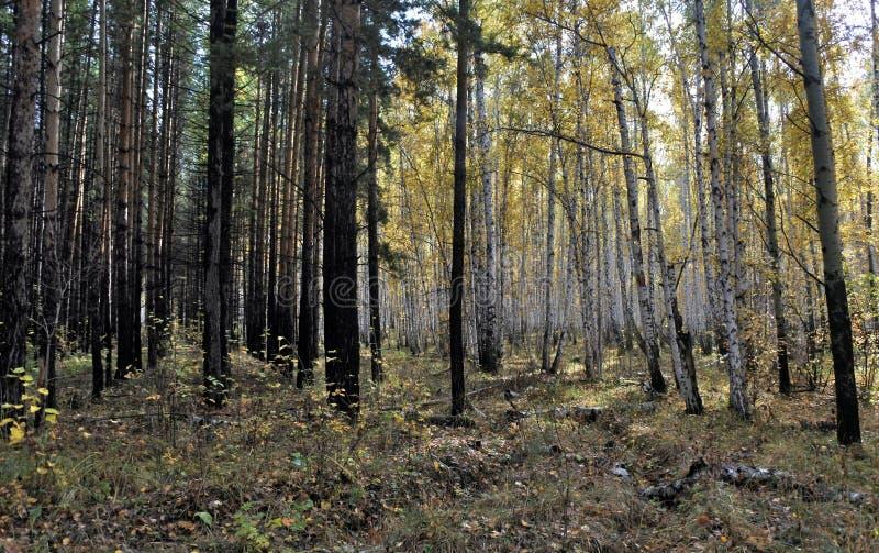 Betulla e abetaia gialle luminose di autunno ad ottobre immagini stock