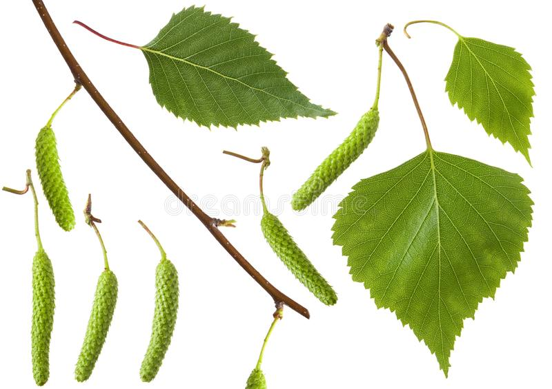 Betulla isolata Ramo stabilito dell'betulla-albero, foglia fresca verde ed inflorescenza del fiore isolati su fondo bianco fotografie stock