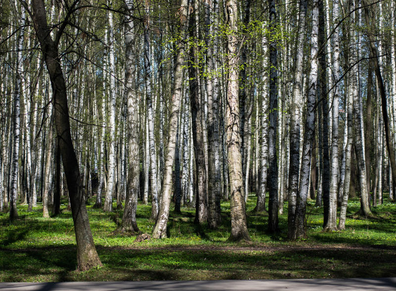 Betulla nel parco immagini stock libere da diritti