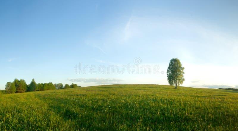 Betulla sola in un campo. fotografia stock libera da diritti