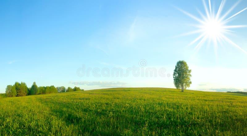Betulla sola in un campo. Panorama. immagini stock