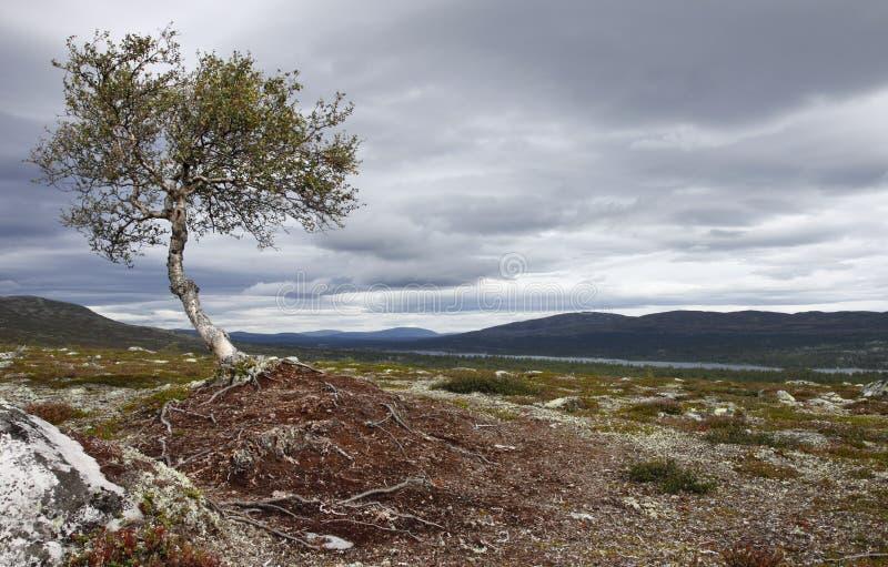 Betulla sul Kungsleden del sud immagine stock libera da diritti