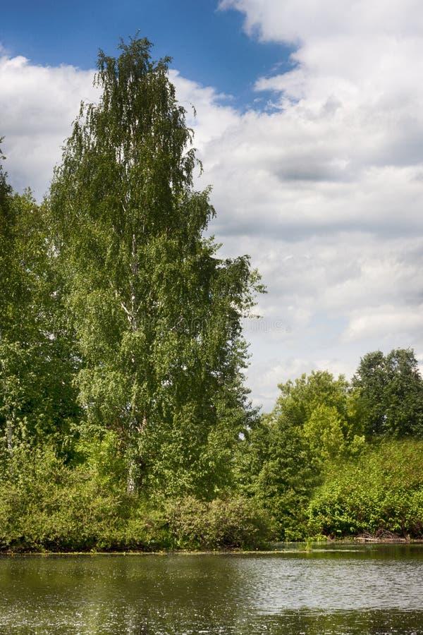 Betulla sulla Banca dei fiumi fotografie stock