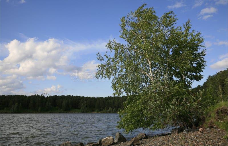 Betulla sulla banca del lago fotografia stock