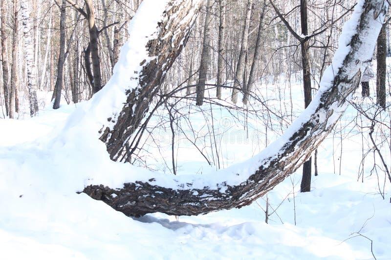 Betulle e sole del paesaggio di inverno fotografia stock