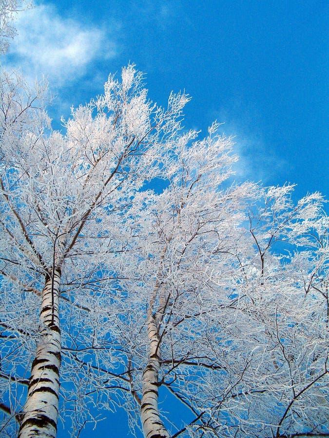Betulle in inverno fotografie stock libere da diritti