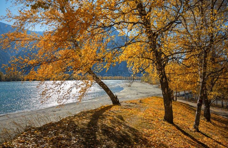 Betulle luminose di Sunny Autumn Landscape With Group Of con fogliame giallo dorato su una collina ai precedenti delle montagne A immagini stock