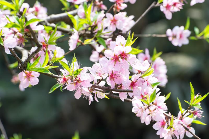 Beuatiful blooming cherry tree blossoms in spring royalty free stock photo