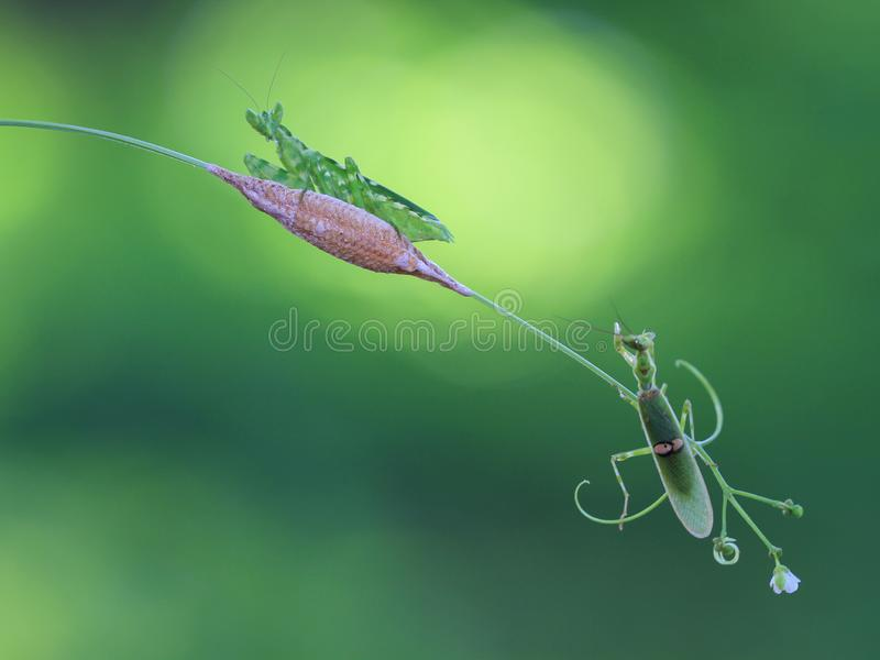 A pair praying mantis and the egg stock images