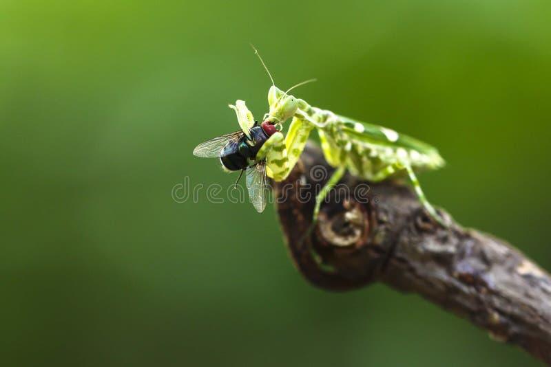 The praying mantis eating stock image