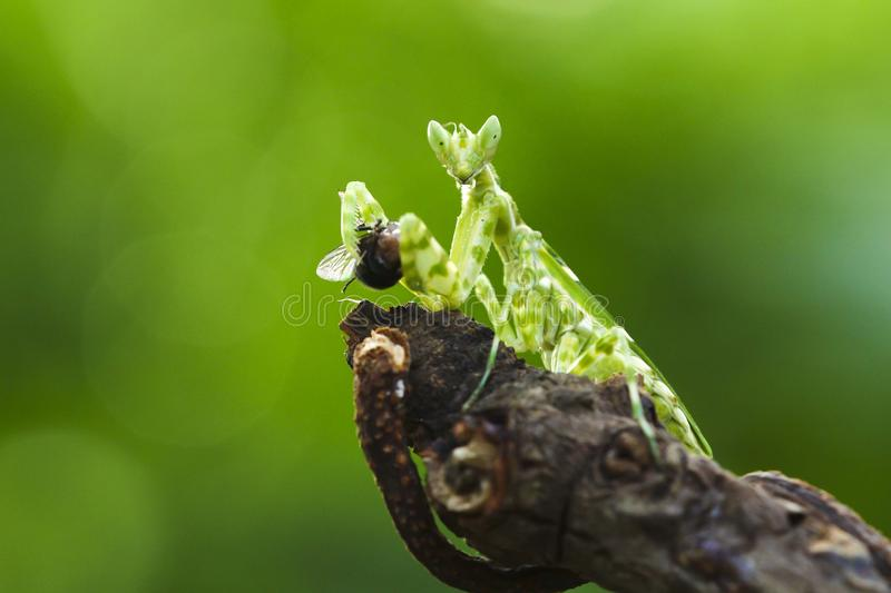The praying mantis eating royalty free stock photo