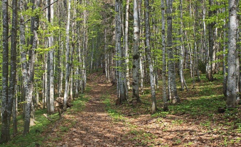 Beuk bosweg stock afbeelding