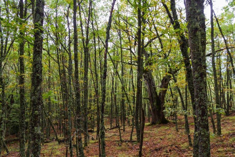 Beuk en Eiken Bos in de Herfst stock foto's