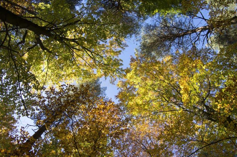 Beuk en pijnboom vergankelijk bos tijdens de herfst zonnige dag, bladeren trillende kleuren op takken, boomkronen stock foto