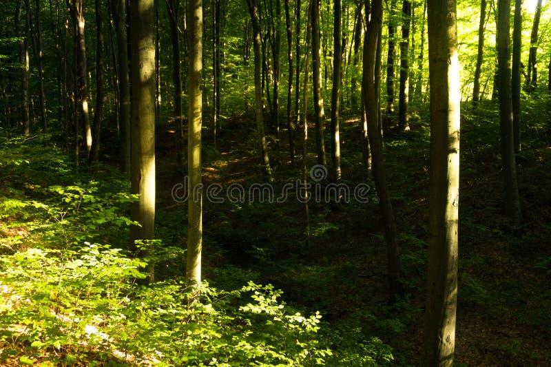 Beuk forestBeech bos Hoofd bos-zichvormt species van Europese bossen royalty-vrije stock fotografie