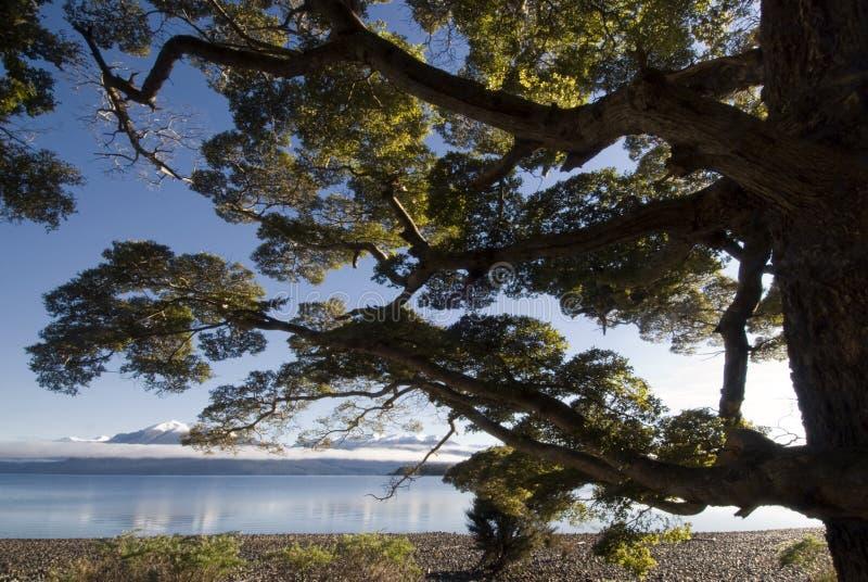 Beukboom op meer Te Anau, Zuideneiland, Nieuw Zeeland stock afbeelding