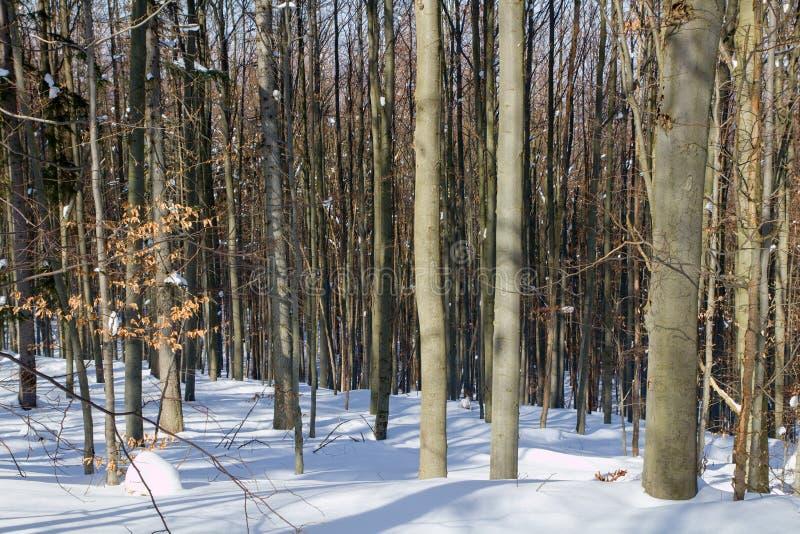 Beukbos in de winter stock afbeelding