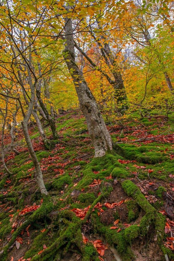 Beukbos in herfstkleuren royalty-vrije stock afbeeldingen