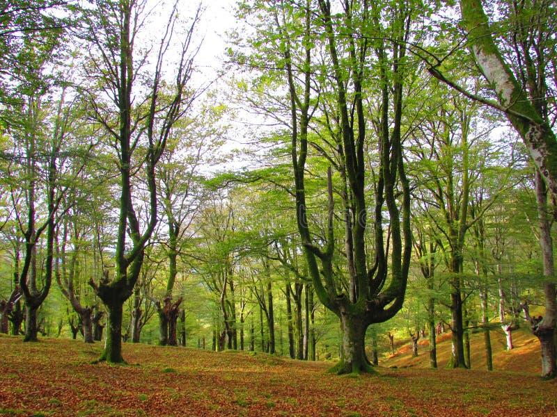 Beukehout in het Baskische Land royalty-vrije stock afbeelding
