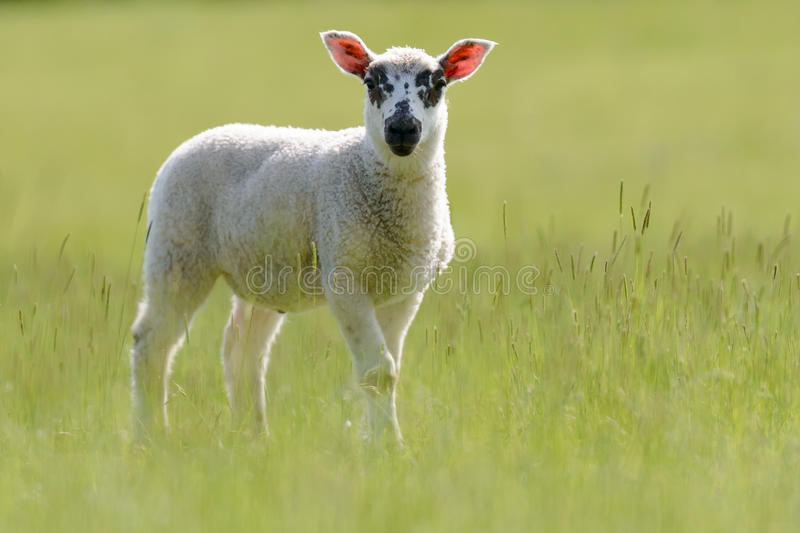 Beulah Speckled-Faced Lamb In Grassland immagini stock