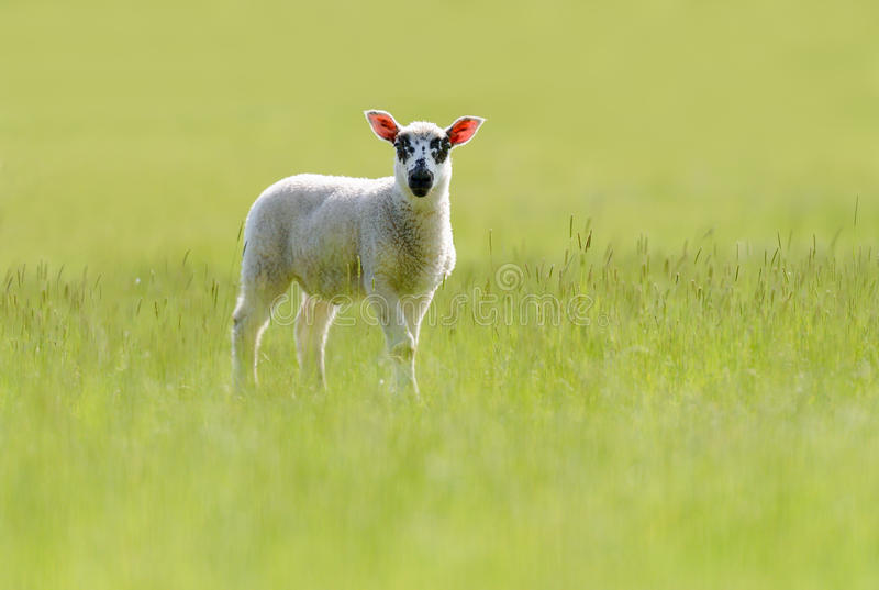 Beulah Speckled-Faced Lamb In Grassland stock fotografie