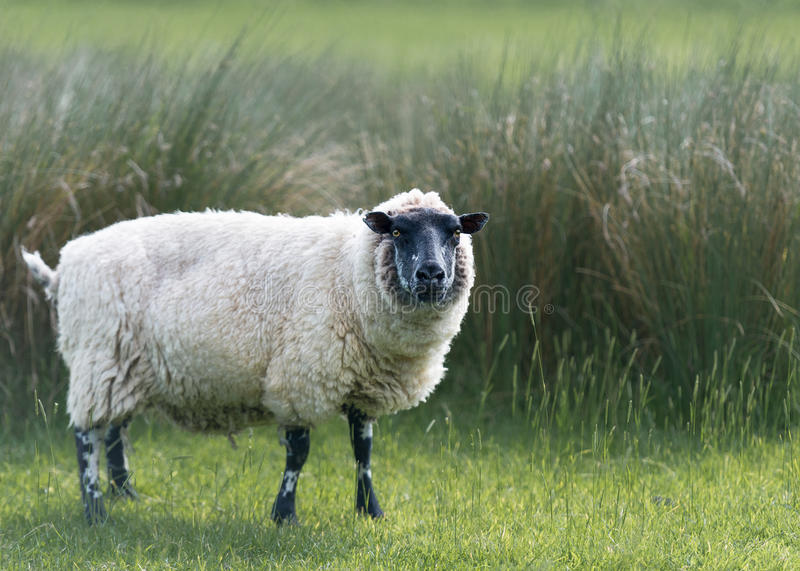 Beulah Speckled-Faced Sheep In Tall-Grassen royalty-vrije stock afbeeldingen