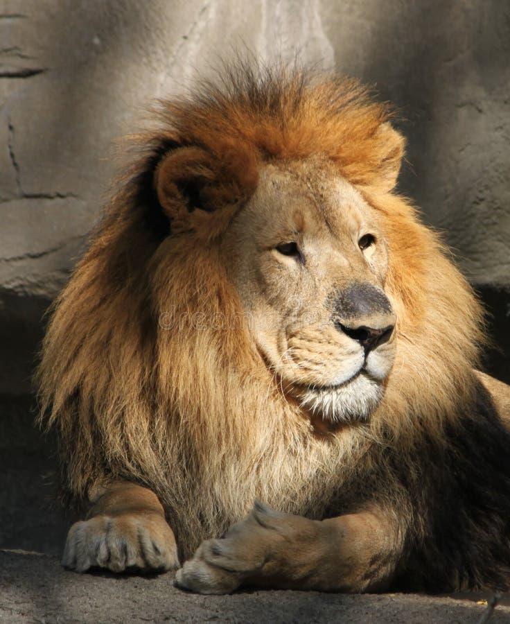 beundra lionmanligsikt royaltyfria foton