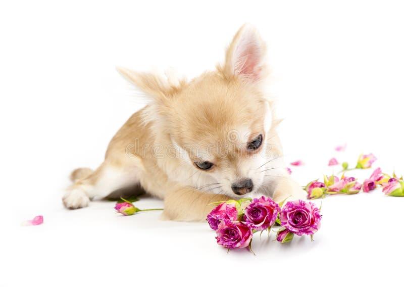 beundra rosa valpro för chihuahua sött royaltyfria bilder