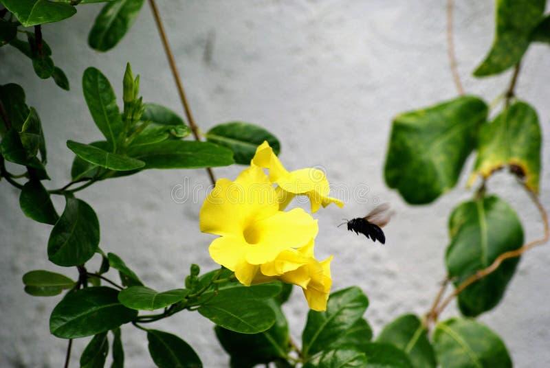Beurrez la fleur de mon jardin avec une guêpe noire photos libres de droits