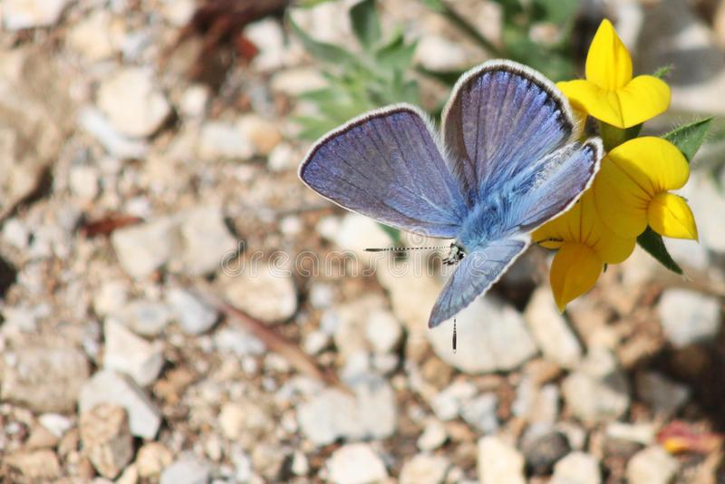 Beutiful blue butterfly on yellow flower. On stones backround royalty free stock image