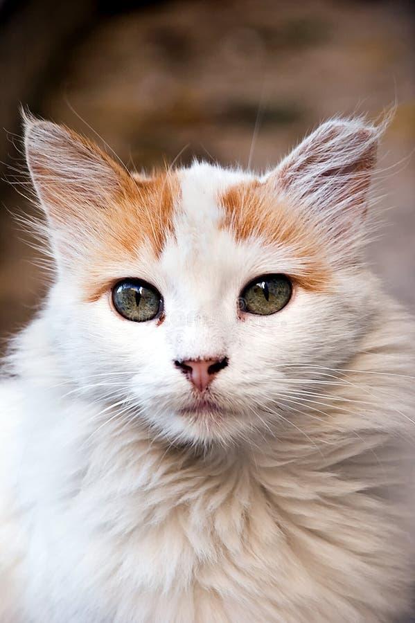 Beutiful cat royalty free stock photos