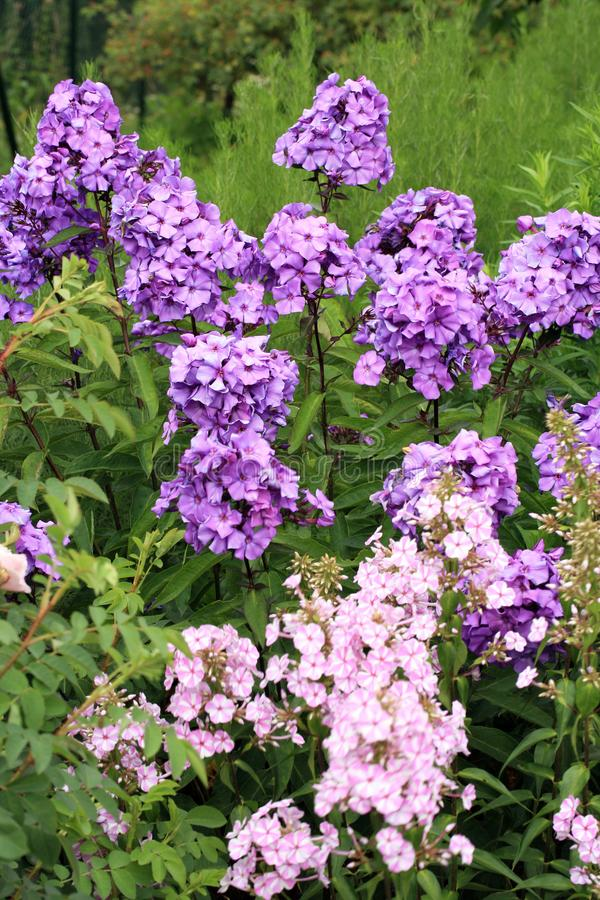 Beutiful violet phlox flowers stock image image of blooming download beutiful violet phlox flowers stock image image of blooming beutiful mightylinksfo Image collections