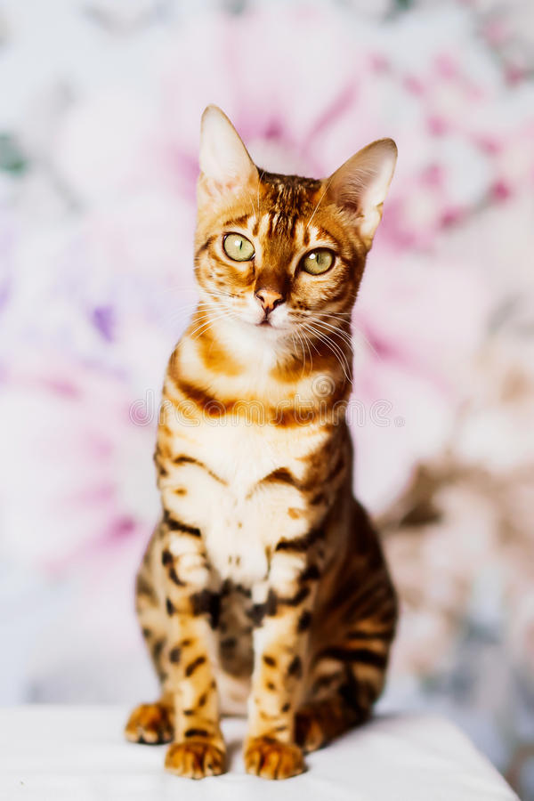 Beutiful young bengal cat. Brown spotted royalty free stock photography
