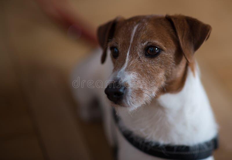 Bevaka för hund/som försiktigt håller ögonen på arkivfoto
