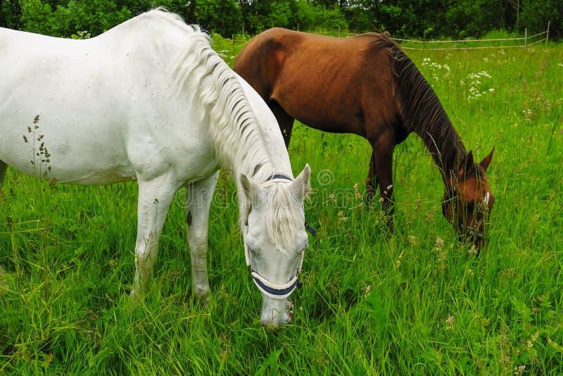 Bevallig zwart-wit paard op het gebied royalty-vrije stock foto