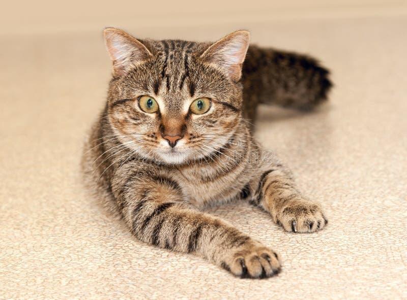 Bevallige kat met ernstig gezicht stock foto's