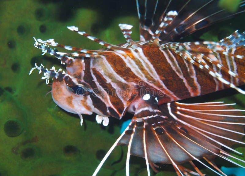Bevallige Lionfish van Aalmoezenier Burgos, Leyte, Filippijnen stock foto's