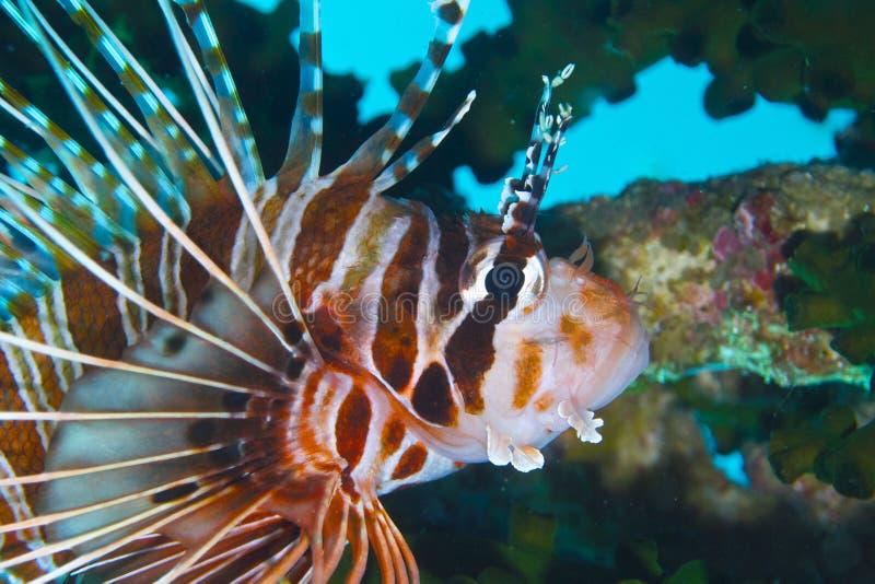 Bevallige Lionfish van Aalmoezenier Burgos, Leyte, Filippijnen stock afbeelding