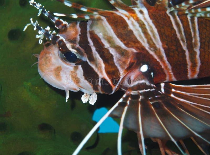 Bevallige Lionfish van Aalmoezenier Burgos, Leyte, Filippijnen stock fotografie