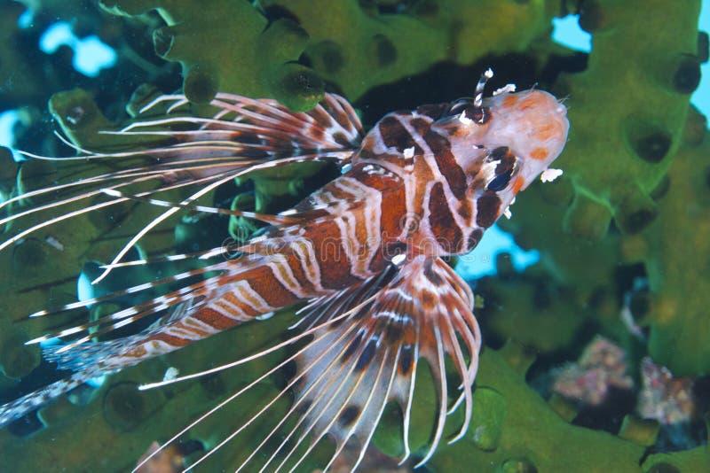 Bevallige Lionfish van Aalmoezenier Burgos, Leyte, Filippijnen stock afbeeldingen