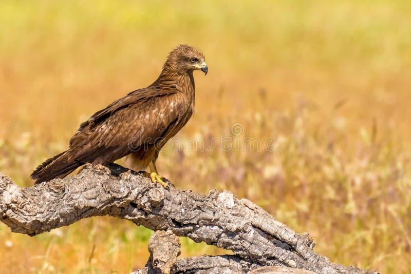 Bevallige roofvogel Zwarte vlieger Milvus migrans van gebied Castilla La Mancha in Spanje royalty-vrije stock fotografie