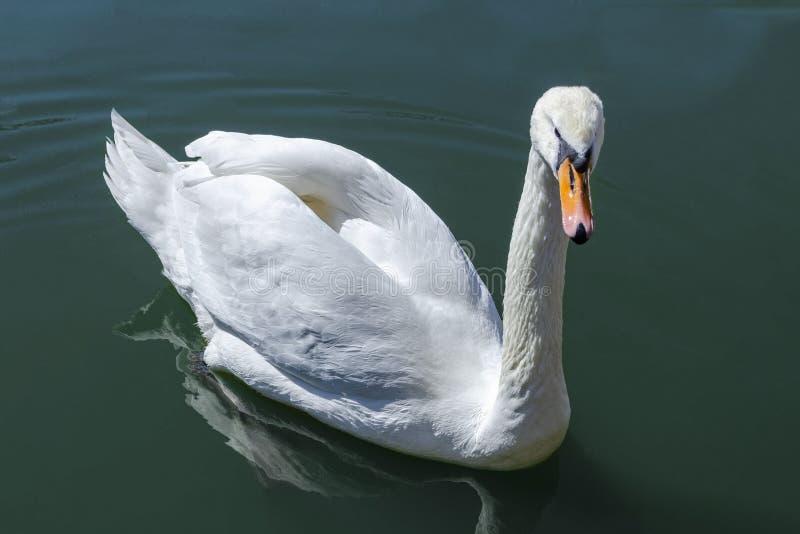 Bevallige witte Zwaan die in het meer zwemmen royalty-vrije stock fotografie